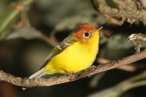 550px-Yellow-breasted_Warbler